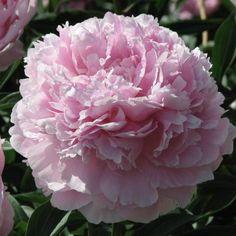Pivoine 'Reine Hortense'
