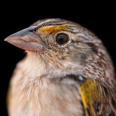 """A male Florida grasshopper sparrow, considered the most endangered bird in North America. Kinds Of Birds, Florida, Wild Birds, Bird Feathers, Beautiful Birds, Beautiful Creatures, Old World, Pet Birds, Habitats"