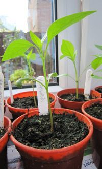 How to grow chilli peppers Thompson & Morgan chilli-seedling