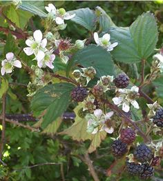 Bramble (blackberry). Back of border.