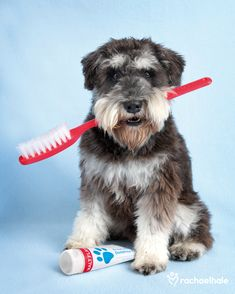 Beasley (Miniature Schnauzer) - Beasley brushes his teeth twice a day, just to keep the dentist away