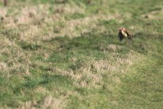 Martin Le-May, a hobby photographer in East London, took these photos of a woodpecker and a baby weasel fighting for their lives over Hornchurch Country Park.
