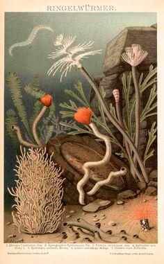1894 SEA WORMS print original antique sea life ocean lithograph - Pin This Antique Prints, Vintage Prints, Botanical Illustration, Illustration Art, Technical Illustration, Vintage Illustrations, Sea Life Art, Sea Art, Ocean Life