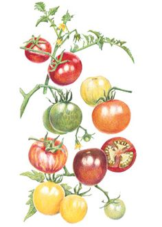 Tomato Cherry Rainbow Mix, illustration for Botanical Interests Seeds. Fruit Seeds, Tomato Seeds, Botanical Drawings, Botanical Prints, Organic Vegetable Seeds, Vegetable Garden, Tomato Tattoo, House Plant Delivery, House Plants For Sale