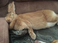 My Flemish Giant. Matilda : My Flemish Giant. Giant Bunny, Big Bunny, Cute Bunny, Adorable Bunnies, Fluffy Bunny, Large Animals, Baby Animals, Cute Animals, Funny Animals