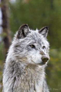funkysafari:  Gray Wolf, Yellowstone National Park by Foxy Photog