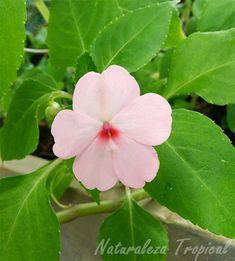 Variedad blanca de la flor Madama