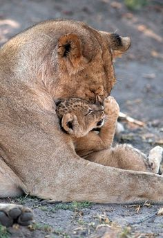 Big Cats, Cats And Kittens, Cute Cats, Nature Animals, Animals And Pets, Wild Animals, Beautiful Cats, Animals Beautiful, Cute Baby Animals