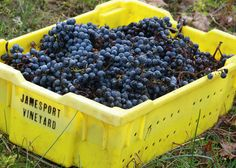 Hand harvesting at Jamesport Vineyard. Grapes are picked by hand and places into bins to be taken to the winery and turned into wine.