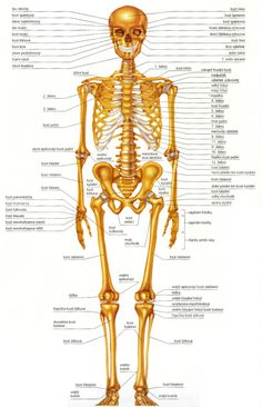 ☀ Human Body - Anatomy - Body Tables and Learning Charts ✺More info - Science Education Human Skeleton Anatomy, Human Body Anatomy, Body Chart, Body Scale, Anatomy And Physiology, Nurse Life, Science Education, Science And Nature, Learning