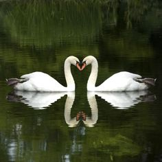 8 Animals That Mate for Life: 1. Swans - Symbols of True Love