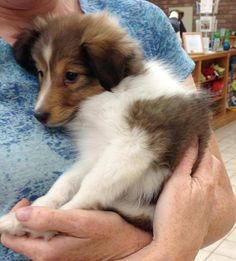 The Shetland Sheepdog originated in the and its ancestors were from Scotland, which worked as herding dogs. These early dogs were fairly Kittens And Puppies, Cute Puppies, Cute Dogs, Rough Collie, Collie Dog, Baby Animals, Cute Animals, Shetland Sheepdog Puppies, Herding Dogs