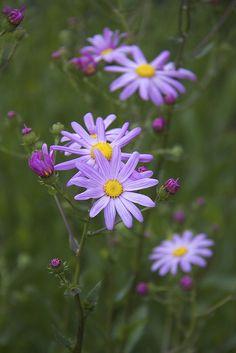 ~~Chicago Botanic Garden by DJM75~~ Blooming Flowers, Spring Flowers, Purple Flowers, Wild Flowers, Plant Wallpaper, Flower Phone Wallpaper, My Flower, Flower Power, Beautiful Gardens