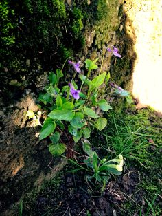 Wild violets on a wall!