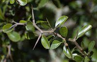 FOTOGRAFIAS DE LA FLORA AUTOCTONA DEL URUGUAY: MOLLE BAGUAL - Condalia buxifolia