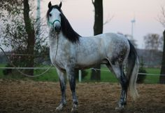 love dapple greys