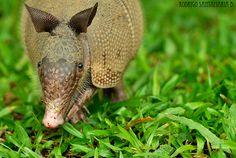 Costa Rica Nature Photography - armadillo