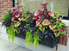 combination of some tropical plants, colorful Coleus and contrasting Sweet Potato Vine and Lysimachia