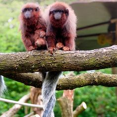 Titi monkey - they mate for life and sit with their tails entwined Especie Animal, Animal Facts, Mundo Animal, Beautiful Creatures, Animals Beautiful, Los Primates, Funny Animals, Cute Animals, Interesting Animals