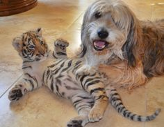 Tora the tiger cub playing with Oz the dog. #emilyjeanmaplesphotography
