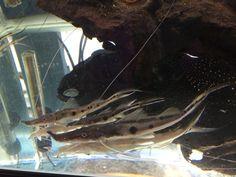 Salt And Water, Fresh Water, Tropical Fish Store, Aquarium Catfish, Monster Fishing, San Diego Area, Home Aquarium, Cichlids, Freshwater Aquarium