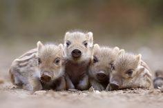 .Schlummernde Schweinis (Forum für Naturfotografen)