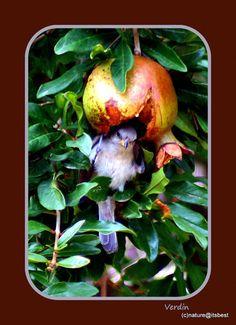 Verdin in a Pomegranate nature print