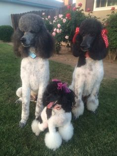 """""""Parti Poodles, Three Dog Night"""" - Sargent Pepper, Phoebe and Molly"""