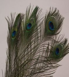 Amazon.com: Natural Peacock Feathers 10-12 inches Long (40 pieces per pack): Arts, Crafts & Sewing