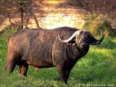 Mammifères: Buffle d'Afrique- Frawsy