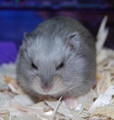 Cute dwarf hammy