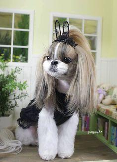 Shih tzu lady