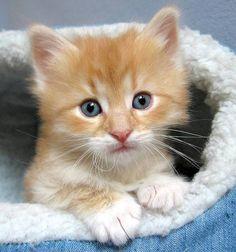 Max [redux]  Norwegian Forest Cat kitten