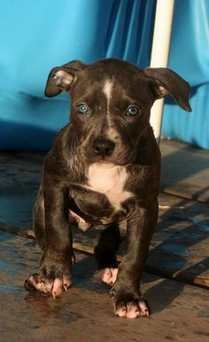 blue nose pitbull puppy