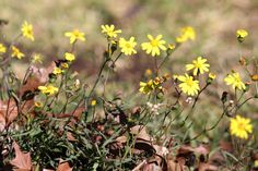 Euryops laxus Kwazulu Natal, Wildflowers, Wildlife, Plants, Plant, Wild Flowers, Planets