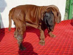 Dosa Inu (Korean Mastiff) - Yahoo Search Results