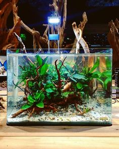 Layout with Azalea wood and low demanding plants (just rizhome plants) at Zoo&Zo in the Netherlands; powered by @aquaflora.nl  #FAAO #Aquaflora #Aquascaping #Planted #Aquarium #Aquatic #Plant #Freshwater #aquascape #Plantedtank #plantedaquarium