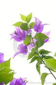 Bougainvillea flower - Αναζήτηση Google