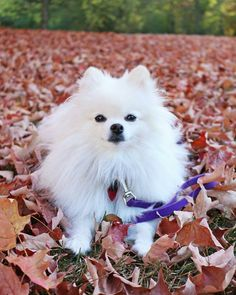 #dogs#small dogs#teacup dogs#cute dogs