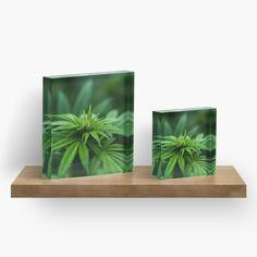 Marijuana Plants Acr