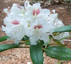 Rhododendron (Peter Tigerstedt Rhododendron)