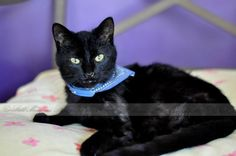 Meet John Luke, an adoptable Domestic Short Hair-black looking for a forever home. If you're looking for a new pet to adopt or want information on how to get involved with adoptable pets, Petfinder.com is a great resource.