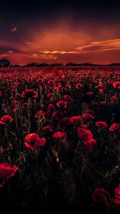 Earth/Poppy Wallpaper ID: 790819 - Mobile Abyss Dark Red Wallpaper, Wallpaper Earth, Summer Wallpaper, Scenery Wallpaper, Flower Wallpaper, Beach Wallpaper, Mobile Wallpaper, Beautiful Nature Wallpaper, Beautiful Landscapes