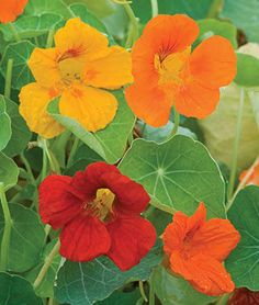Nasturtium Seeds - First, soften seed casing with nail file.  Sow seeds ½ inch deep 12 inches apart. Firm soil lightly, water and keep evenly moist. Seedlings will emerge in 10-14 days.