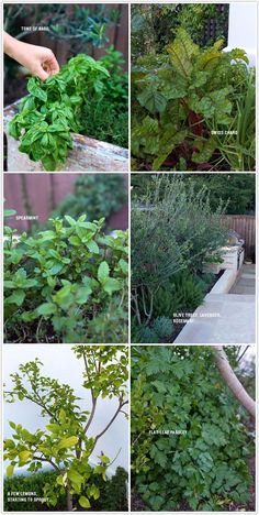 In the garden, basil, swiss chard, spearmint, olive trees, lavender, rosemary, lemons, parsley