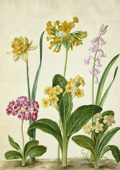 Cowslip, Primrose & other flowers, from Horti Itzsteinensis, by Johann Jakob Walther (1600-69). Watercolour. Germany, 17th century.