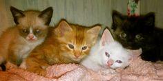The Litter of Kittens-Baby Tard on left.