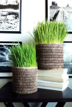 Growing wheat grass indoors.