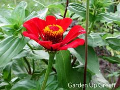 Get these tips for growing beautiful zinnias