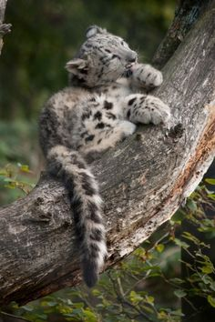 Snow Leopard Cub taking it easy.